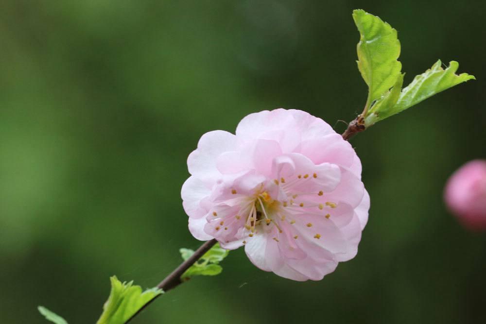 Blüte des Mandelbäumchens