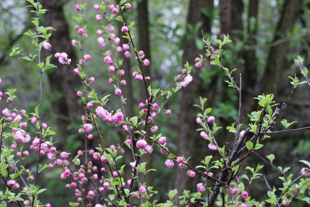 Mandelbäumchen blüht von April bis Mai