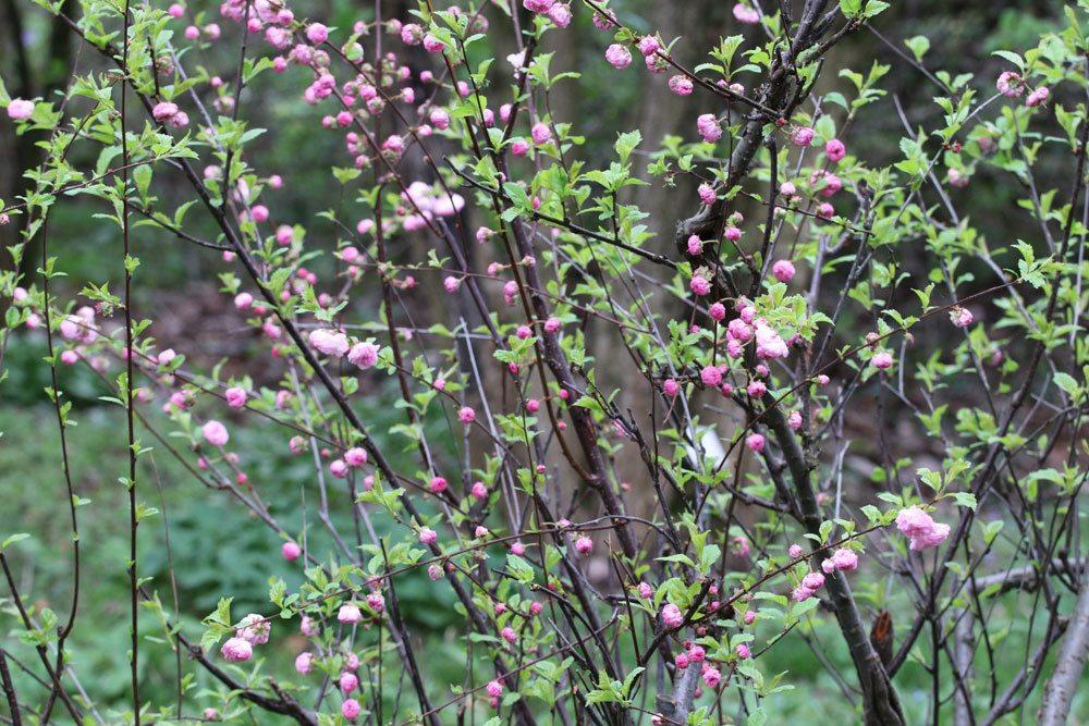 Prunus triloba wächst eher langsam