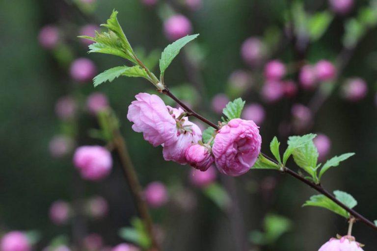Mandelbäumchen, Mandelstrauch, Prunus triloba richtig pflegen