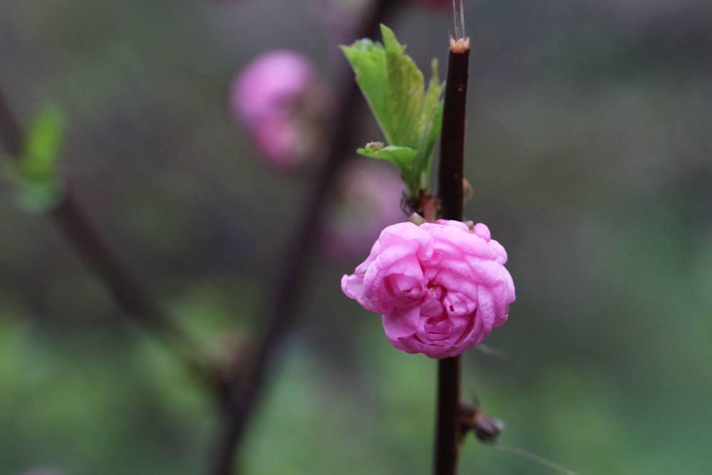 sich öffnende Blüte am Mandelstrauch