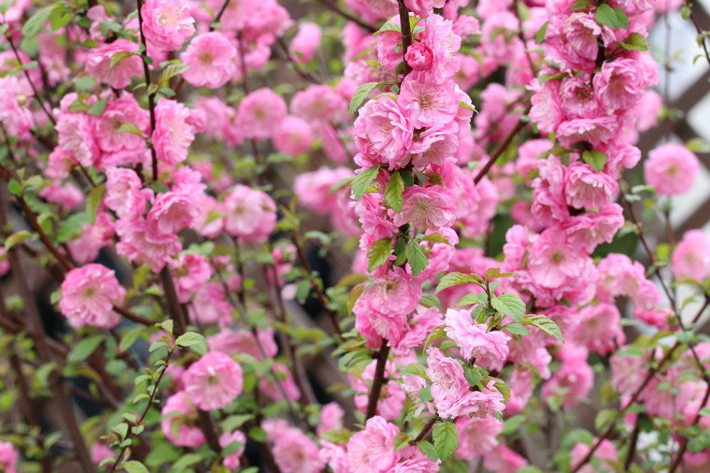 Prunus dulcis mit hellrosa Blütenfarbe