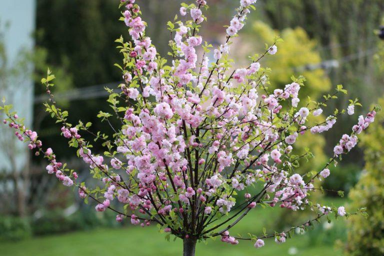 Mandelbaum, Prunus dulcis, Essmandel richtig pflegen