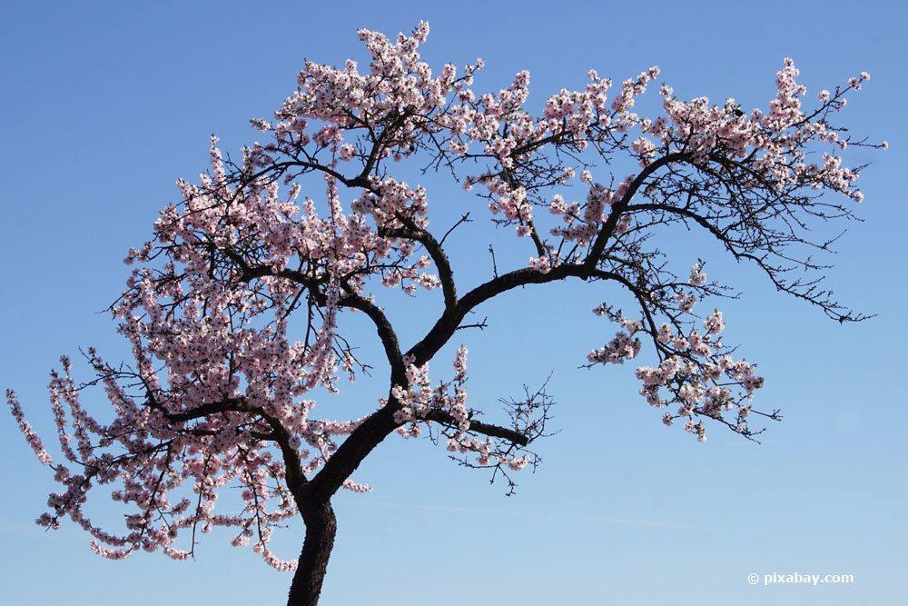 Mandelbaum schneiden, um das Wachstum zu fördern