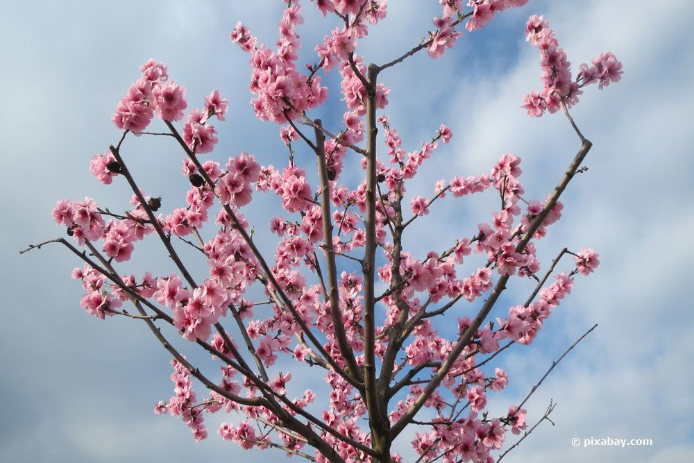 Mandelbaum bei Erkrankung radikal zurückschneiden