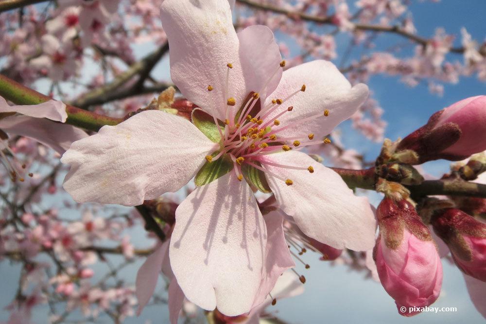 Mandelbaum schneiden und damit eine erhöhte Blütenbildung erreichen