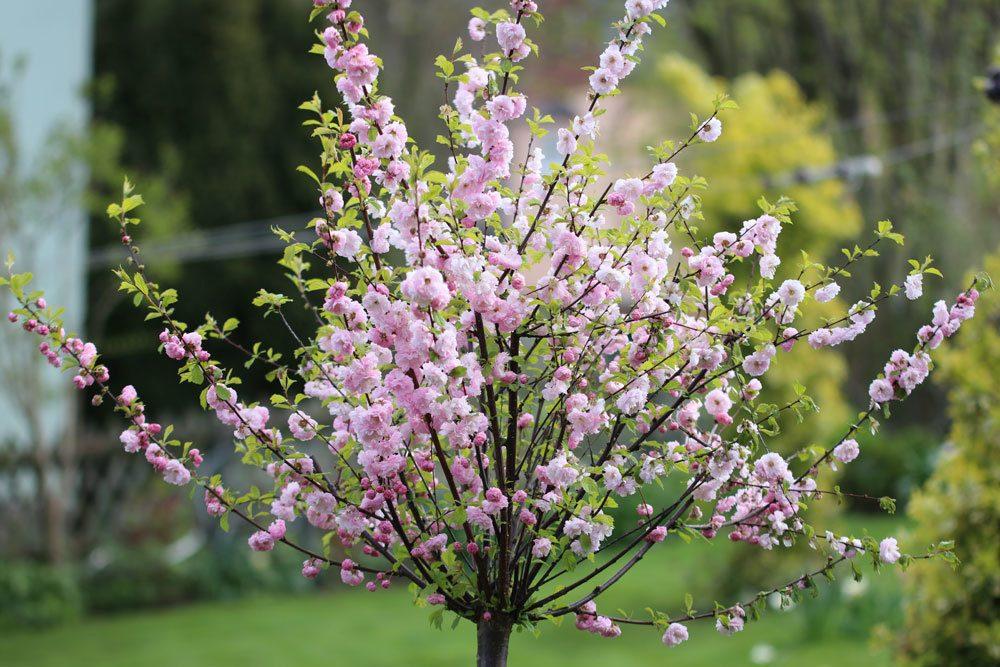Mandelbaum optimal durch den Winter bringen