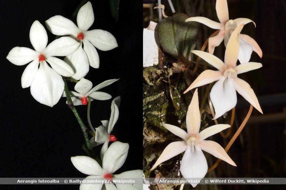 Orchideenart, Aerangis