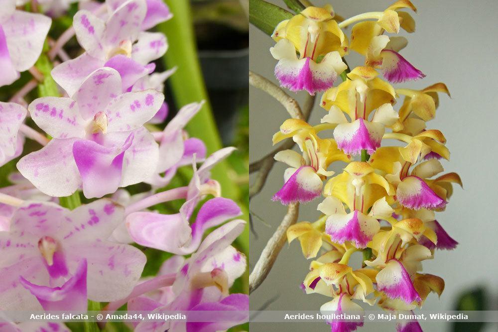 Orchideenart, Aerides