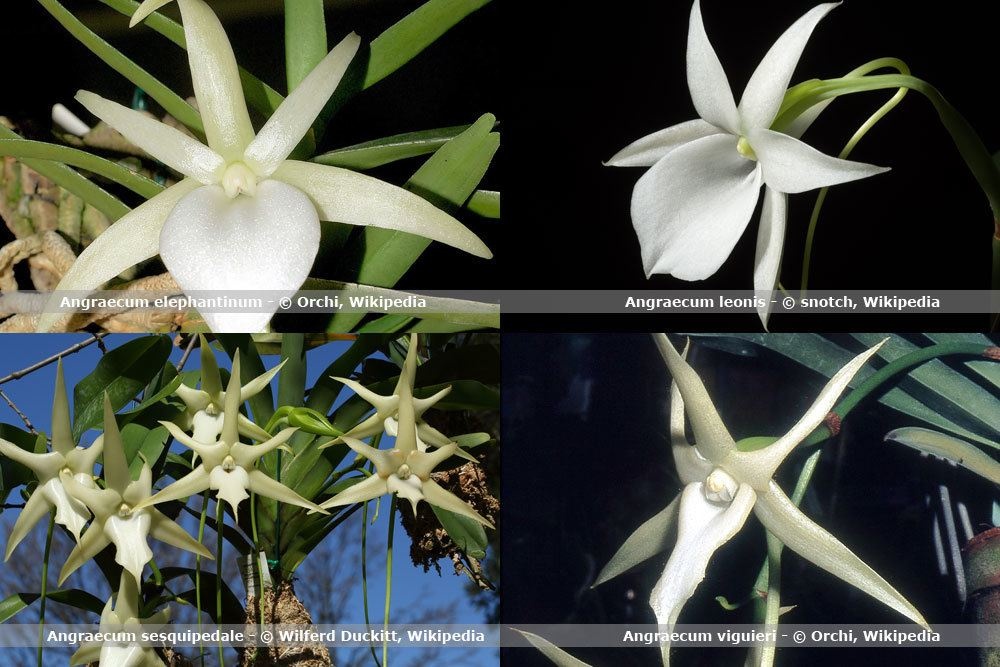 Orchideenart, Angraecum