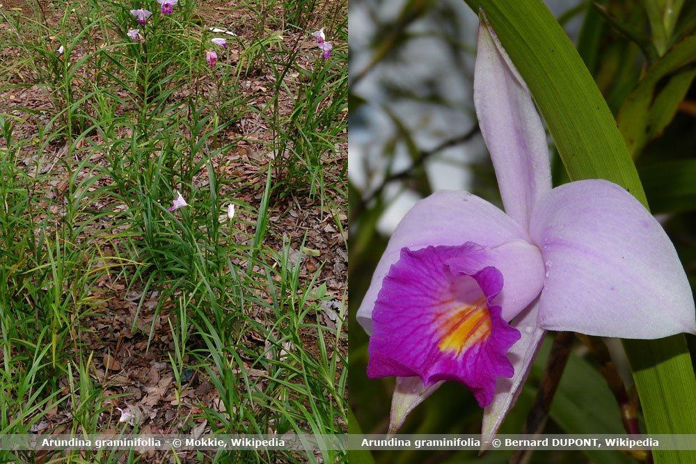 Orchideenart, Arundina graminifolia