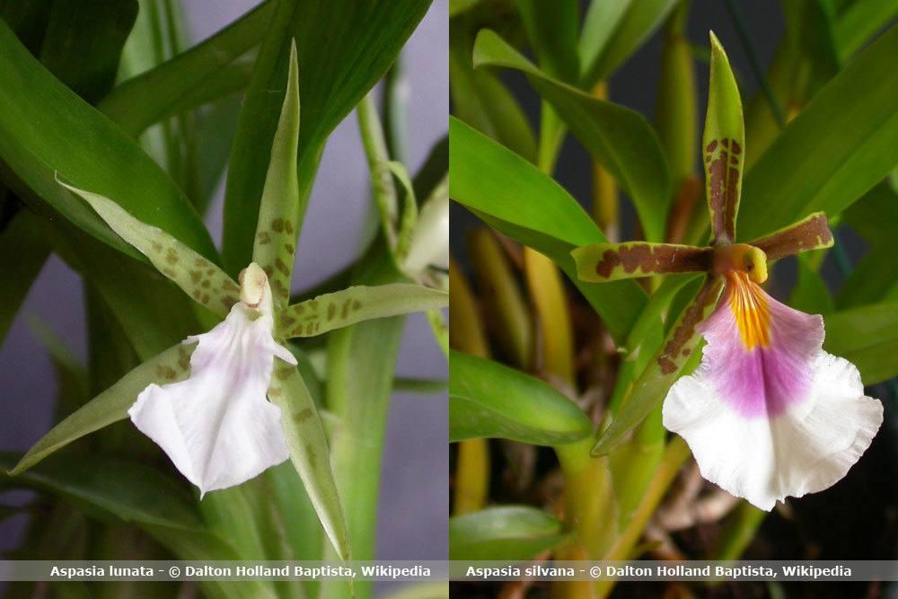 Orchideenart, Aspasia