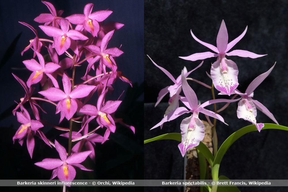 Orchideenart, Barkeria