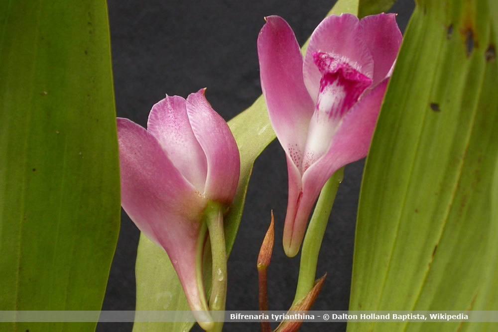 Orchideenart, Bifrenaria