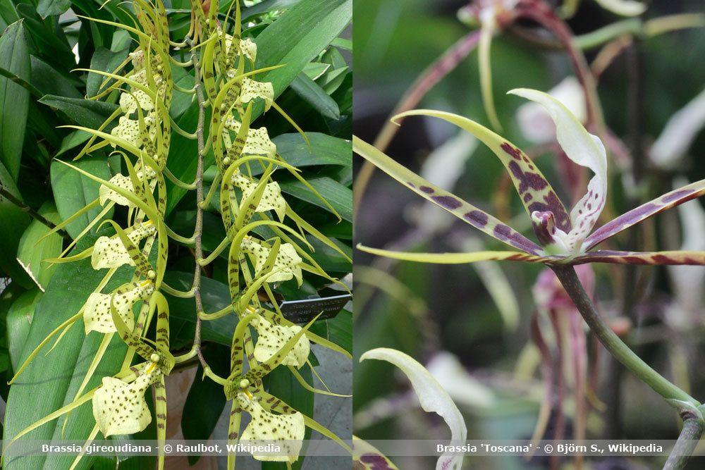 Orchideenart, Brassia
