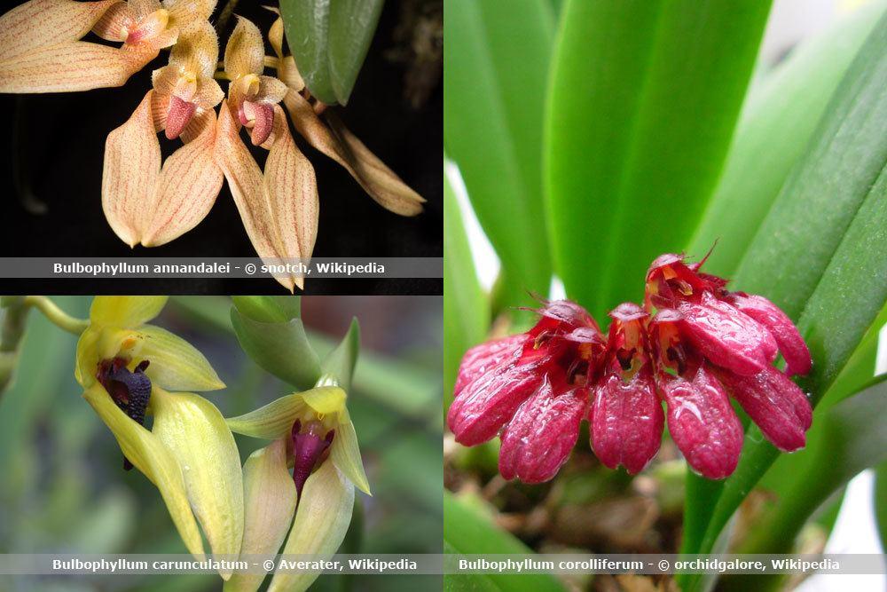 Orchideenart, Bulbophyllum