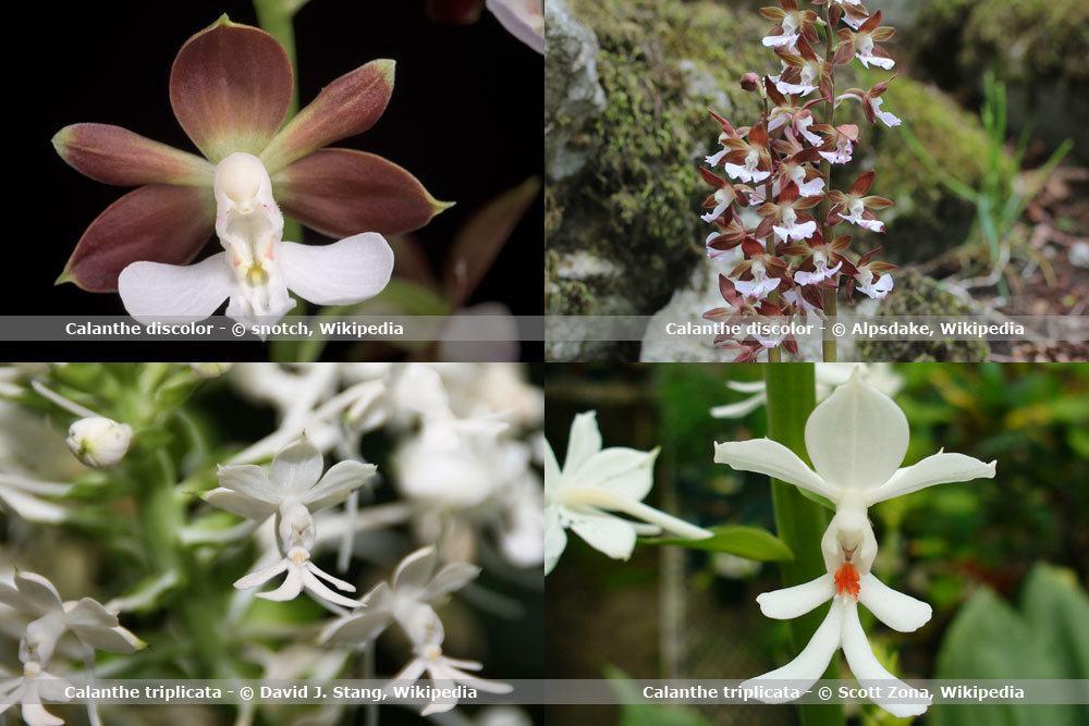 Orchideenart, Calanthe