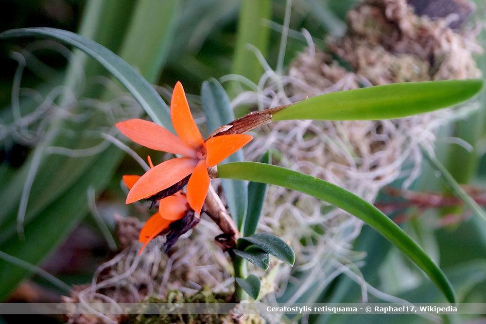 Orchideenart, Ceratostylis
