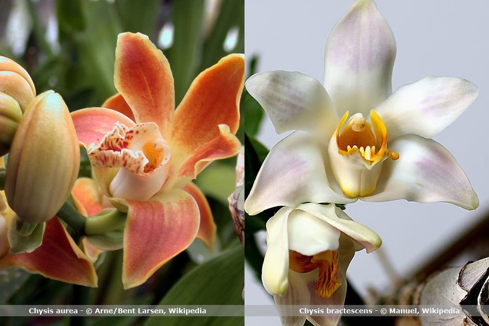 Orchideenart, Chysis