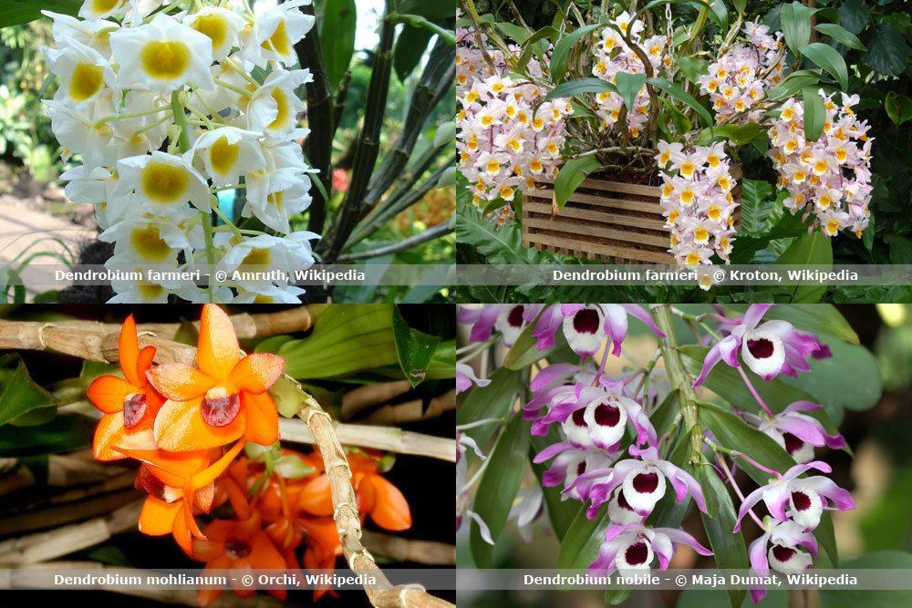 Orchideenart, Dendrobium