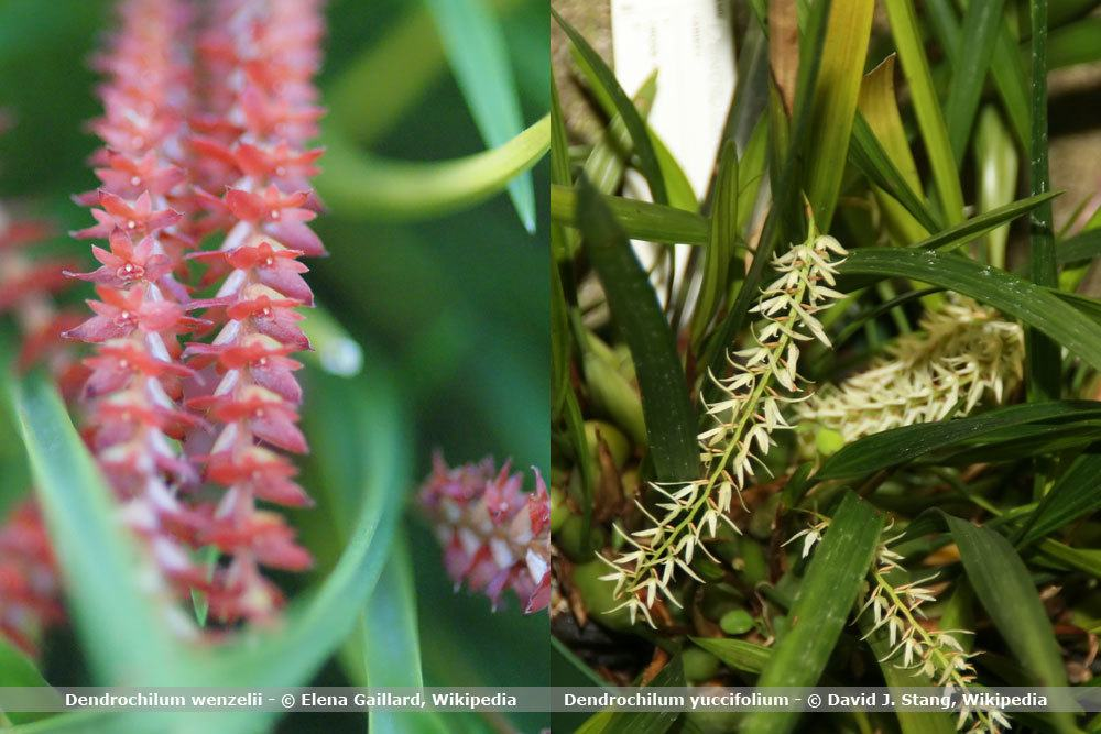 Orchideenart, Dendrochilum