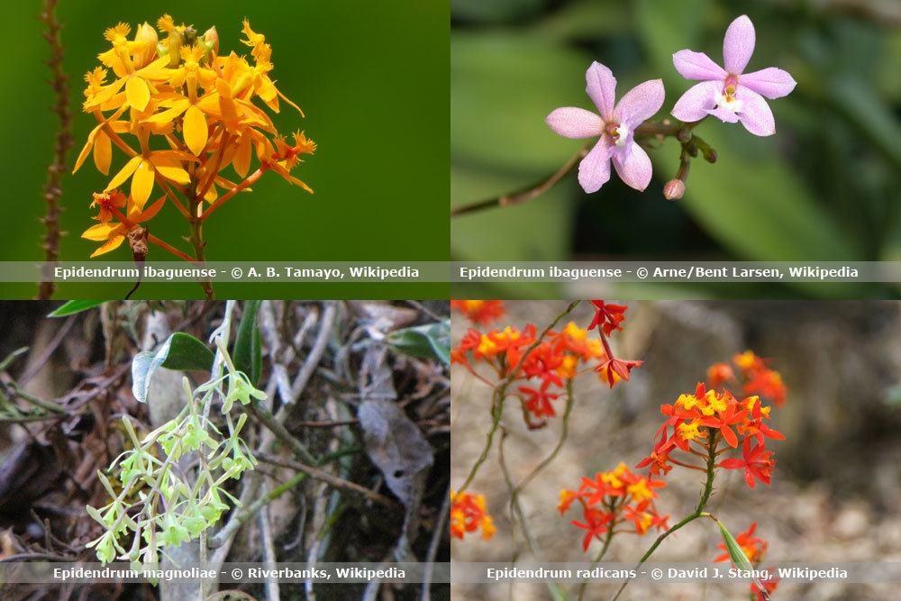 Orchideenart, Epidendrum