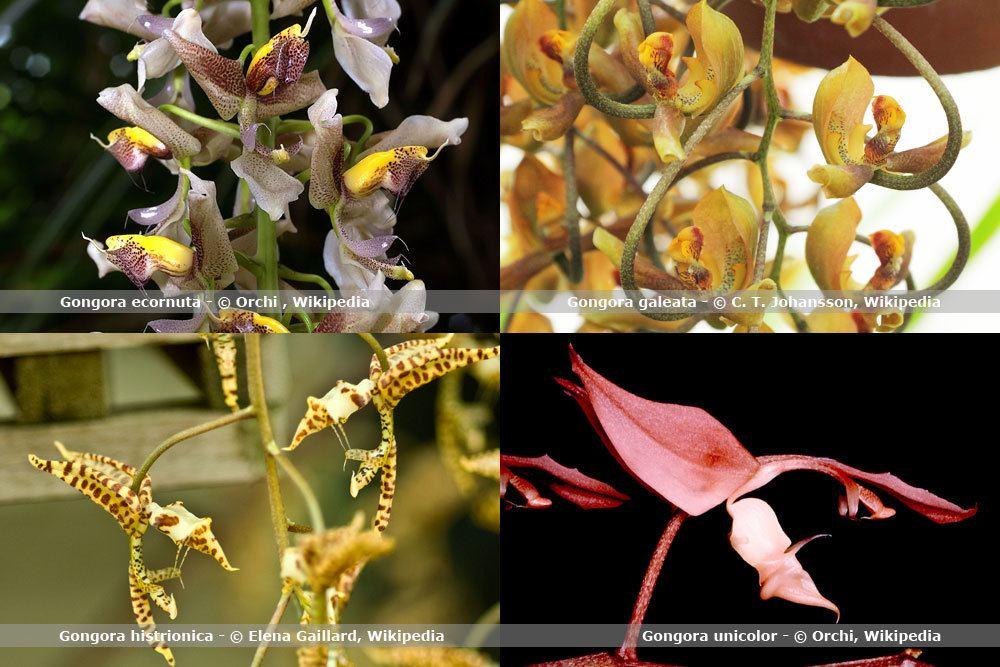Orchideenart, Gongora