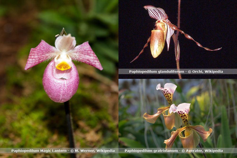 Orchideenart, Paphiopedilum