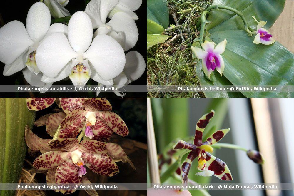 Orchideenart, Phalaenopsis
