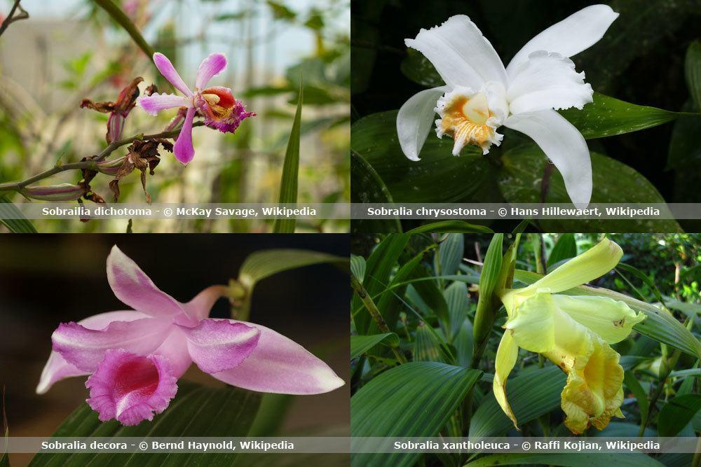 Orchideenart, Sobralia