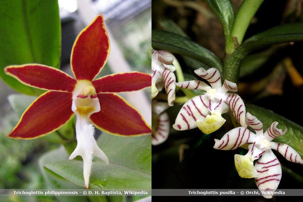 Orchideenart, Trichoglottis