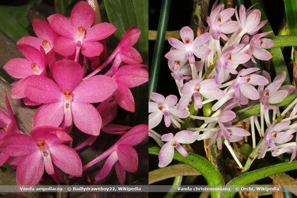 Orchideenart, Vanda
