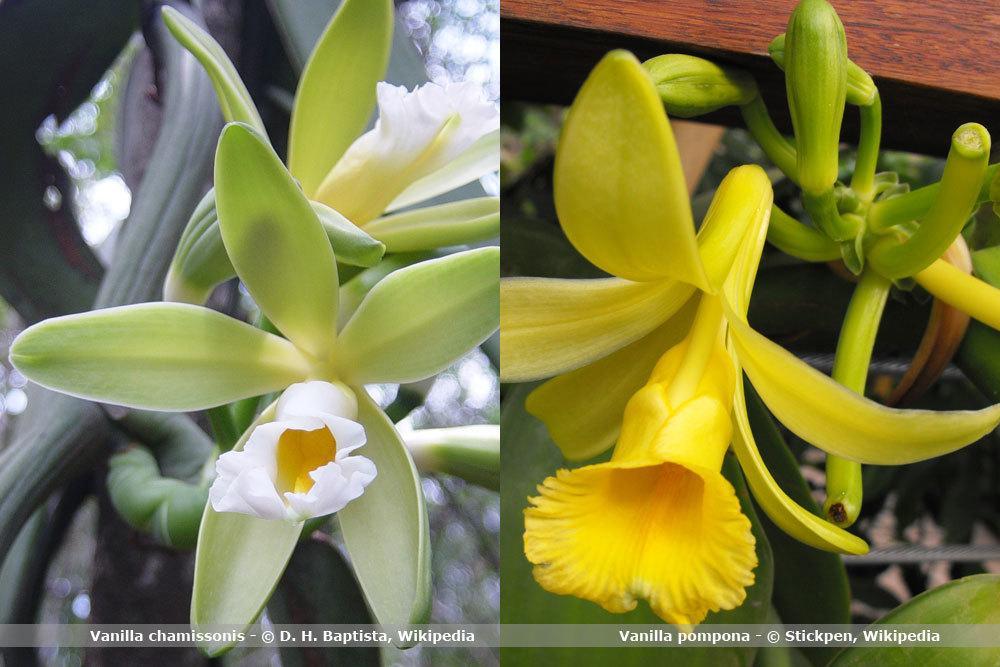 Orchideenart, Vanilla