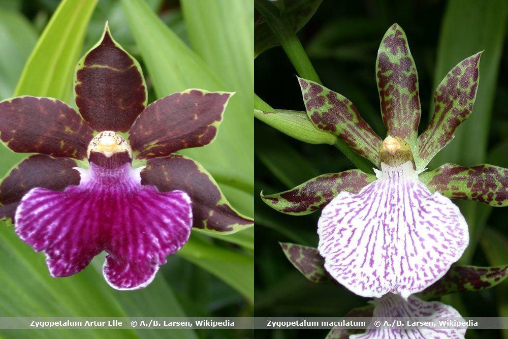 Orchideenart, Zygopetalum