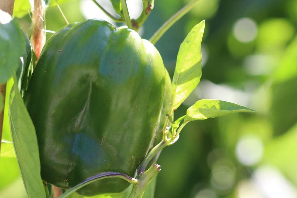 Paprika braucht zum Wachsen einen nährstoffreichen Boden