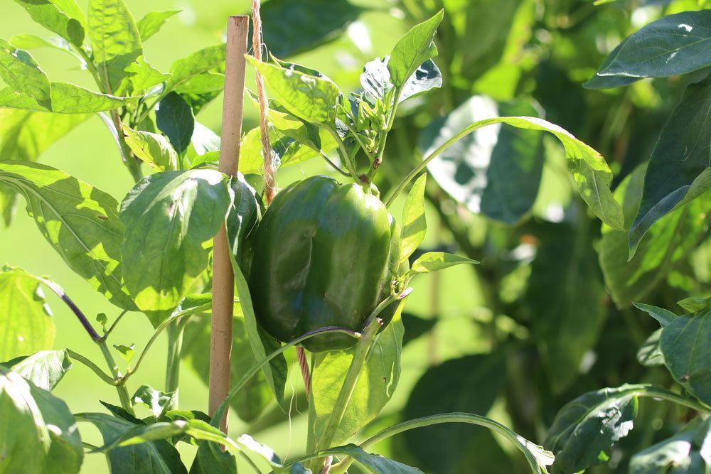 Paprika im Freien anbauen