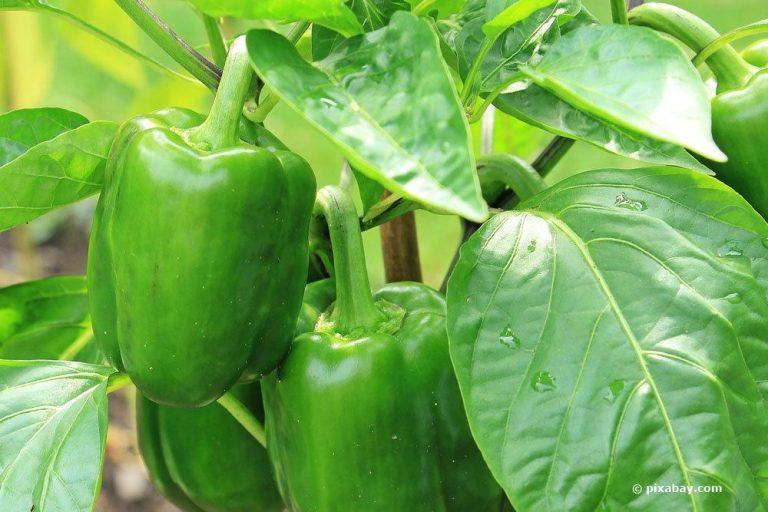 Paprika selber anbauen