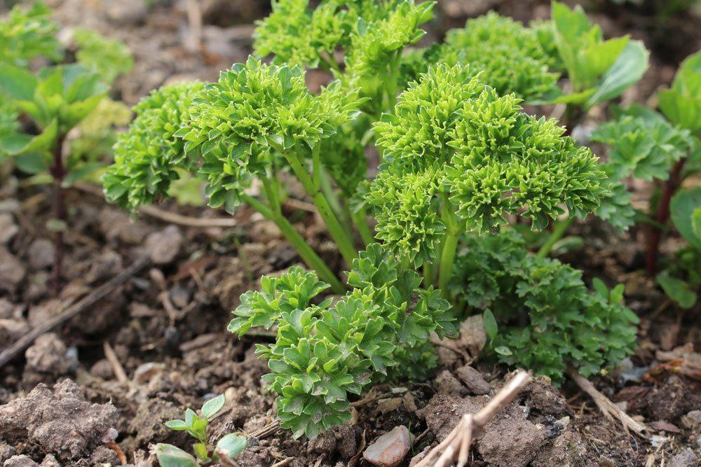 Petersilie, Petroselinum crispum