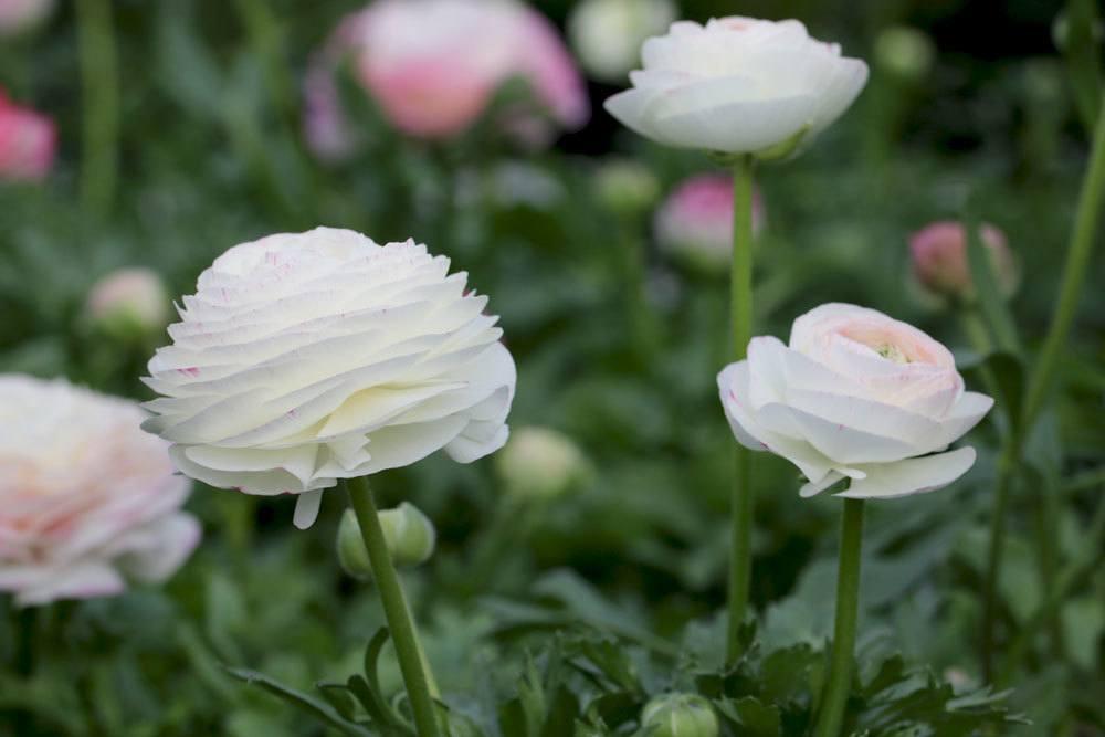 Ranunculus asiaticus mit weißer Blütenfarbe