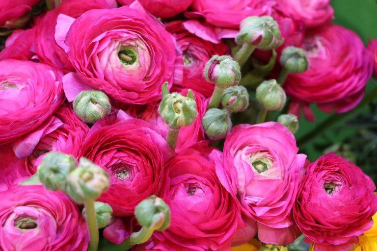 Ranunkel, Ranunculus asiaticus richtig pflegen