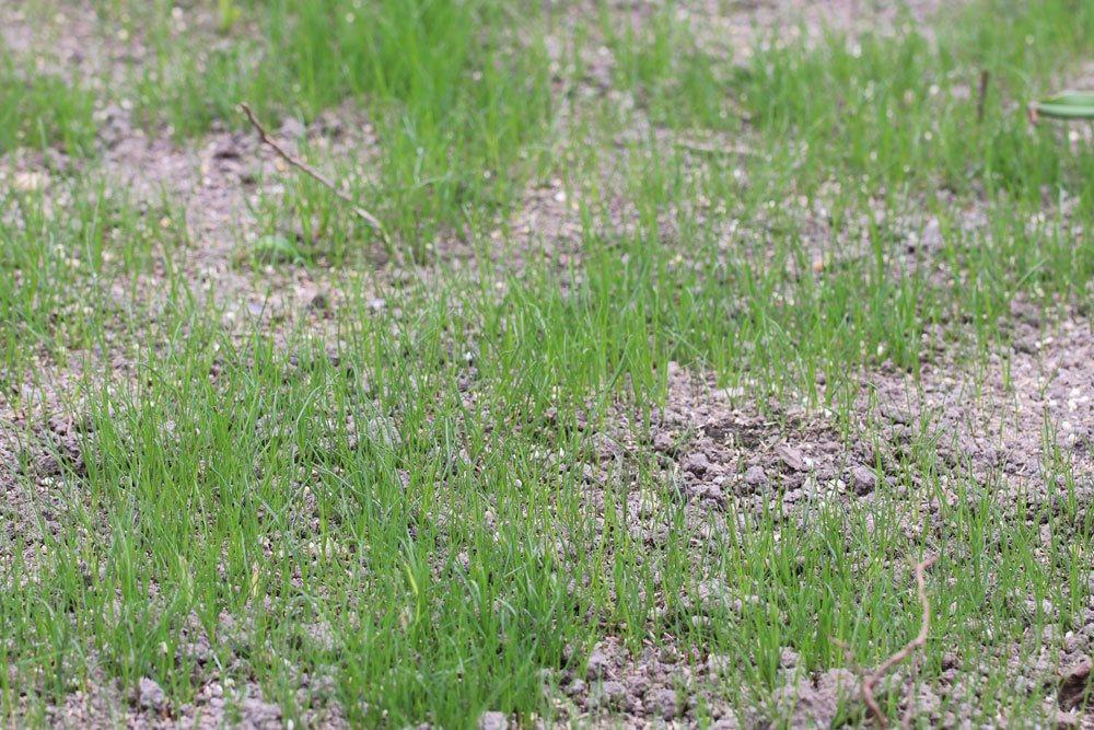 Rasenlücken können beim Rasen säen entstehen