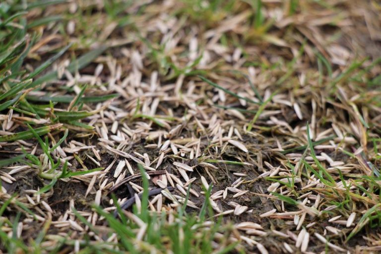 Saatgut beim Rasen säen gleichmäßig verteilen