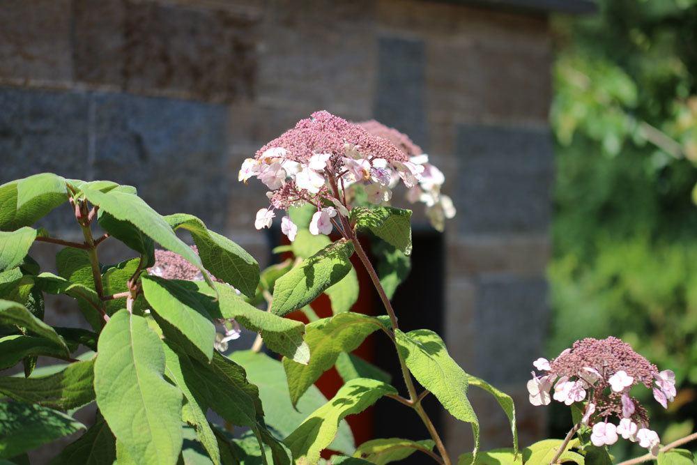 Hydrangea sargentiana blüht von Juli bis Mitte September