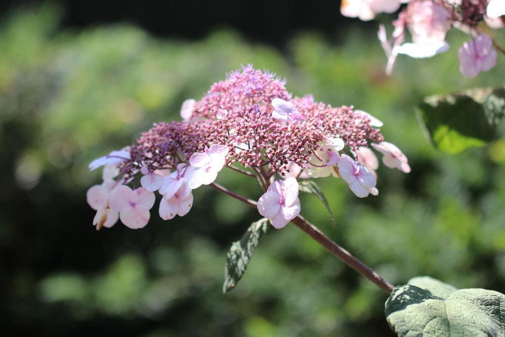 Hydrangea sargentiana wächst als Strauch oder Baum