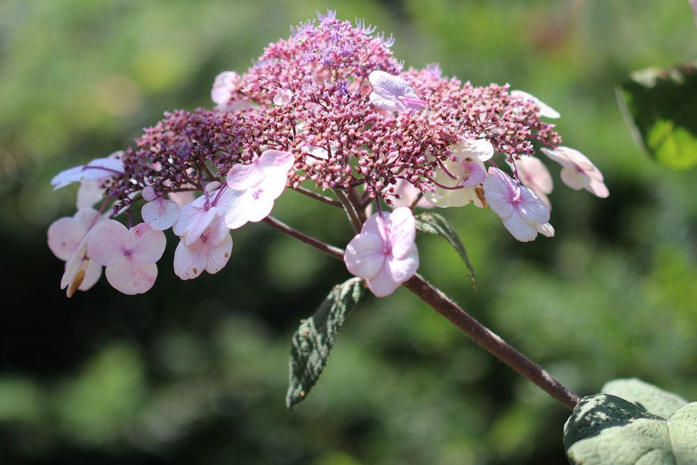 Samthortensie, Hydrangea sargentiana richtig pflegen
