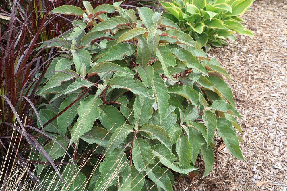 Samthortensie mit striegelartig behaarten Blättern