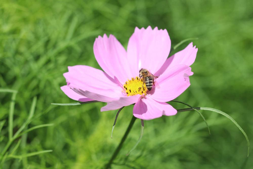 Cosmea lockt Bienen und Schmetterlinge in den Garten