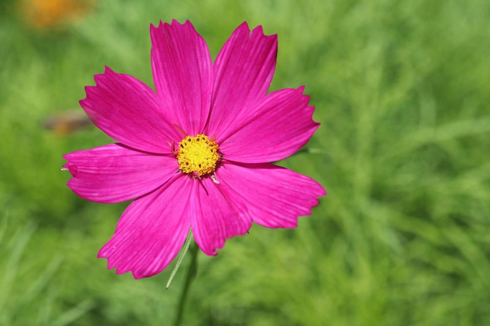 Cosmos bipinnatus ist eine ungiftige Pflanze