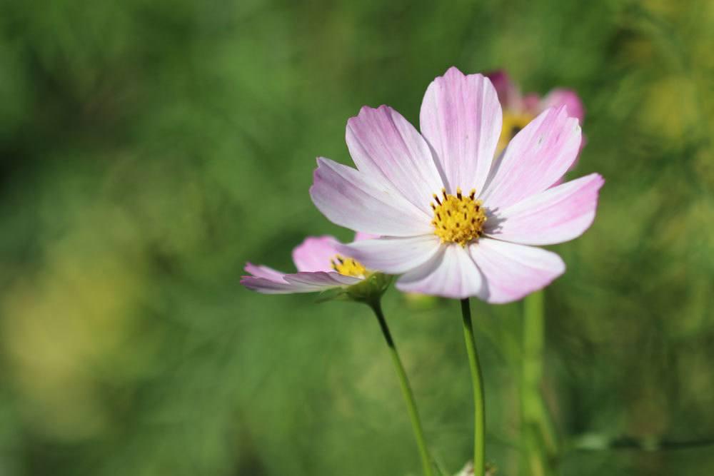 Cosmea ist eine einjährige Pflanze