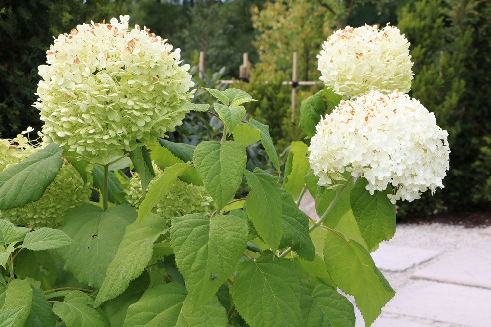 schneeballhortensie hydrangea arborescens 39 annabelle 39 pflege schneiden. Black Bedroom Furniture Sets. Home Design Ideas